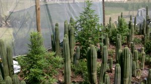 Cannabis and Cacti, A Beautiful Garden!